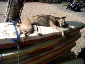 bali surf dog