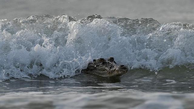 croc in surf